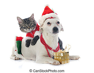 jack russel terrier and kitten - portrait of a purebred jack...