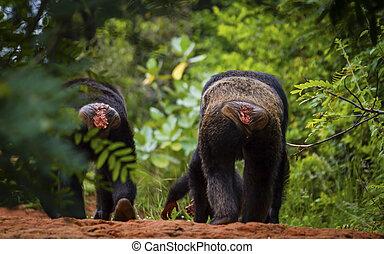 naturaleza, chimpancé