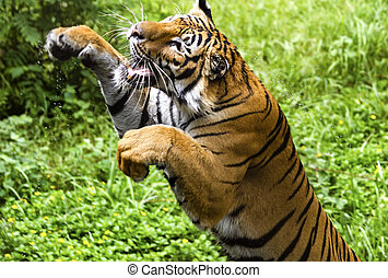 The fast motion of the jumping Bengal tiger