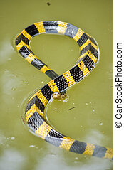 Banded Krait snake - Banded krait is slithering slowly but...