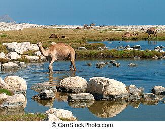 chameaux, plage, Oman, milieu, Est