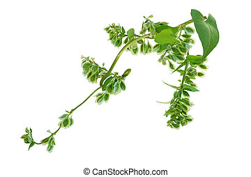 Climbing False Buckwheat - Fallopia scandens (Climbing False...