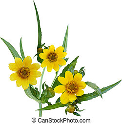 Nodding Bur-marigold Flower