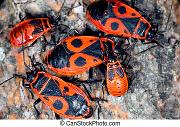 Firebug cluster - A cluster of firebugs, both nymphs and...