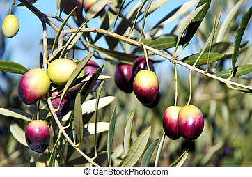 Olives on branch at portuguese field