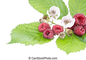 Leaves with fresh Raspberry fruits