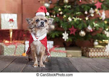 christmas dog before christmas tree - a little chihuahua dog...