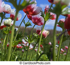white and red flower field - white and red Poppy Anemone in...