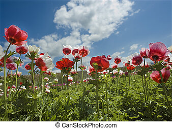 red flower field - Poppy Anemone in the field from bellow
