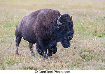Portrait of American Bison - The typical American Bison in...