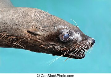 Cape Fur Seal Portrait - Portrait of a Cape Fur Seal with...