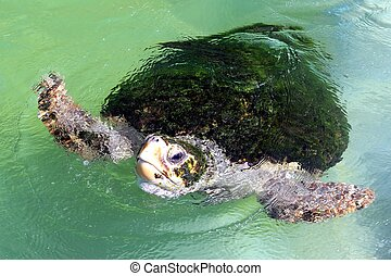Sea Turtle - Sea turtle with green algae covered back coming...