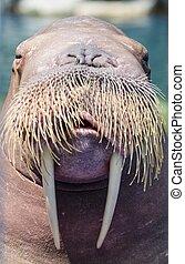 A walrus, closeup