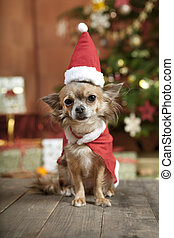 christmas dog with stocking cap - a little chihuahua dog...