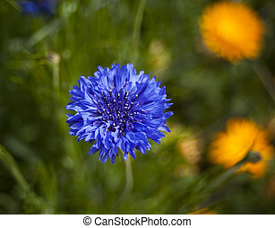 blue cornflower with the background blured