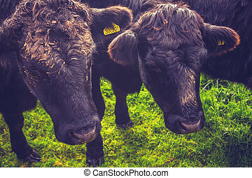 Two black cows standing in field