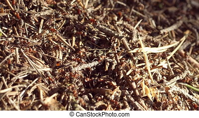 Ant life Macro shot - Big colony of ants working hard on the...
