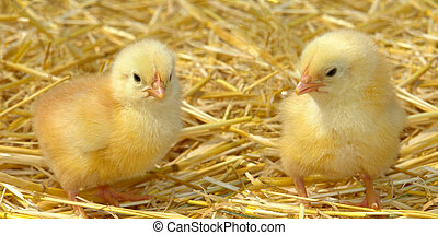 chick on a yellow background