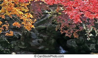 Japanese Maple Trees over River