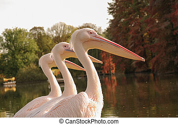 Three Rosy Pelicans at the Luise Park in Mannheim, Germany, Autumn