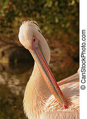 Rosy Pelicans at the Luise Park in Mannheim, Germany, Autumn