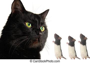 rato, gato
