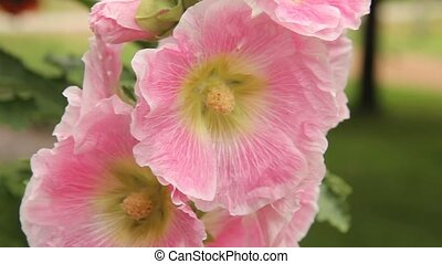 holly hock blossoms - hollyhock close up of pink flower...
