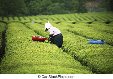 South Korea beautiful Boseong Green Tea Field