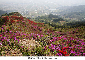 bello, montagne, sud, corea, azalee