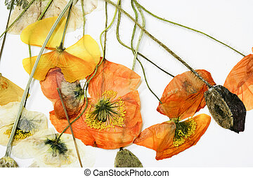 Dried poppy flower