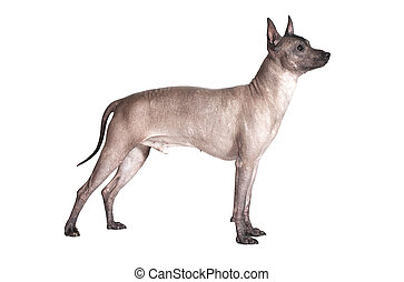 Mexican xoloitzcuintle male dog isolated on white - Mexican...