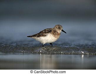 Sanderling, Calidris alba, single bird in water, South Uist,...
