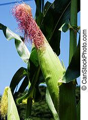 Corn crops field in south korea