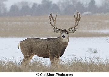 Big Mule Deer Buck in Snow - a big mule deer buck in a snow...