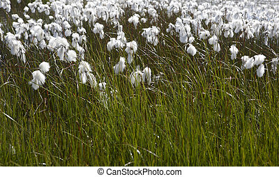 Arctic cotton-grass in Iceland. - Arctic plants cotton-grass...