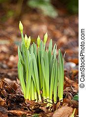 daffodil growing