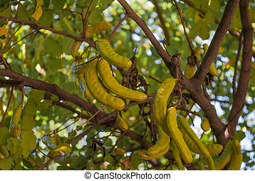 carob tree with unripe fruit