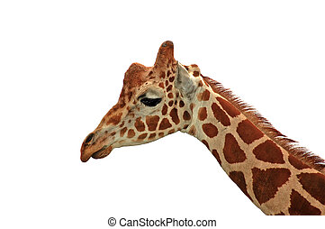 Giraffe - sadness on white - A sad looking reticulated...