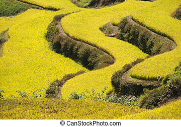 crops in south korea,Rice