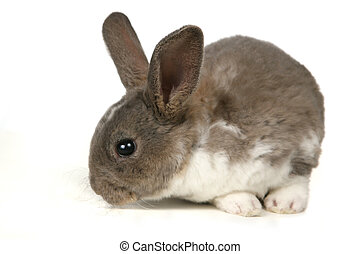 Cute Grey Pet Rabbit - Pet Rabbit Sitting on a White...