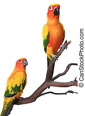 2 Sun Conure Parrots on a Natural Branch Perch With White...