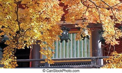 Beautiful maple in the fall season