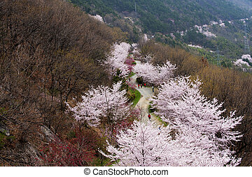 Beautiful Jinhae Cherry Blossom Festival in South Korea