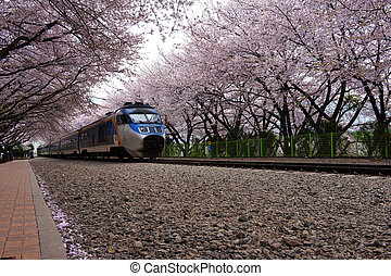 Beautiful Jinhae Cherry Blossom Festival in South...