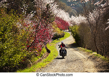 Jinhae Cherry Blossom Festival in South Korea beautiful way