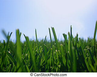 Summer Grass - Grass shines in the evening sunlight on a...