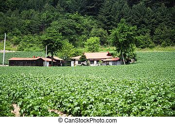 Potato Field in rural landscape in South Korea