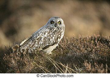 Short-eared owl, Asio flammeus, single bird on heather,...