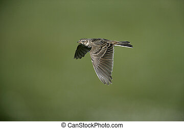 Skylark, Alauda arvensis, single bird in flight, Hebrides,...