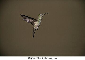 Sombre hummingbird, Aphantochroa cirrochloris, single bird...